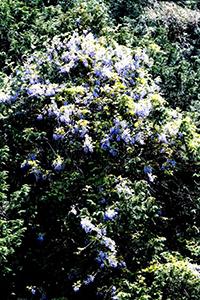 山藤の花1