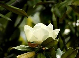 タイサンボクの白い花