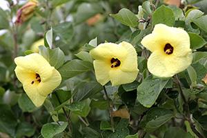 ハマボウの花