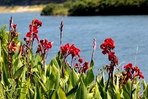 真っ赤なカンナの花