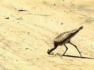 クチバシを砂地に差し込むチュウシャクシギ