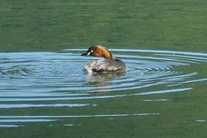 池で泳ぐカイツブリ