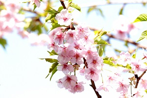 葉桜のうつくしい河津桜