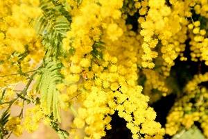 ミモザの黄色がまぶしい