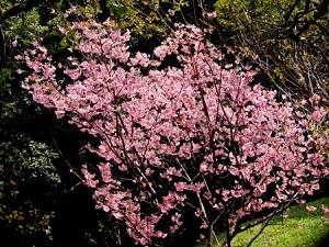 美しい桜が見頃