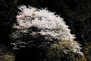美しい一本桜2