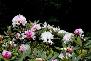 石楠花が見頃です