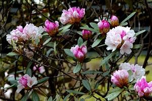 美しい石楠花