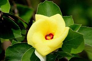 まぶしい黄色のハマボウ