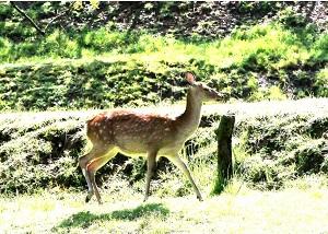 初めて見た鹿