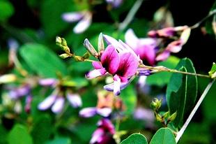 鹿部山のハギの花