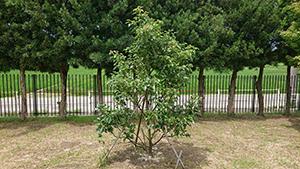 市内の小中学校に植樹している長崎の被爆クスノキ2世