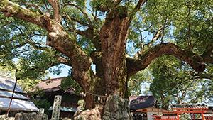 宇美八幡宮の境内の御神木