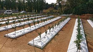 畝は、整地した地面に防根シートを敷いて形成し、培土を覆うシートマルチの下に配管などのかん水設備を設置