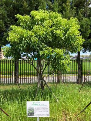 くすの木たて